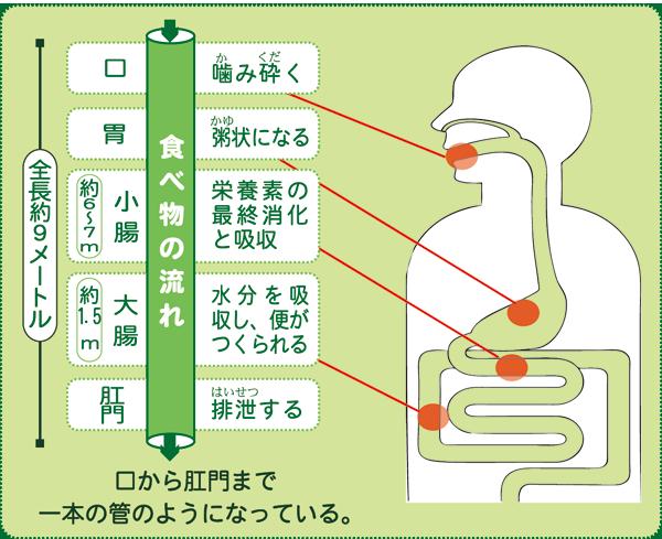 腸のしくみ